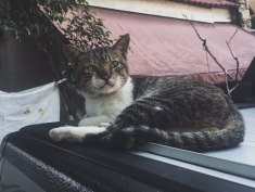 A handsome stray tabby (January 2018)
